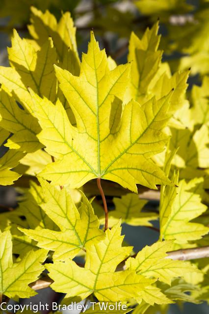 chlorotic leaf autumn blaze maple