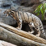 clouded leopard facts , 7 Clouded Leopard Facts In Mammalia Category