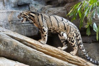 clouded leopard facts in Biome
