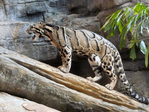 Mammalia , 7 Clouded Leopard Facts : Clouded Leopard Facts
