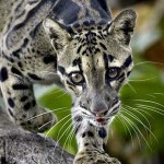 clouded leopard spots eyes , 7 Clouded Leopard Facts In Mammalia Category