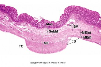 Colon Histology , 6 Photos Of Anatomy Histology In Cell Category