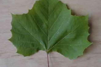 Common British Trees Lea , 4 British Tree Leaves In Plants Category