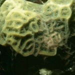 coral , 9 Marine Invertebrates In Invertebrates Category