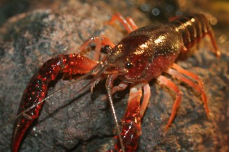 crayfish picture in Genetics