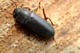 Darkling Beetle , 6 Bug Or Beetle In Bug Category