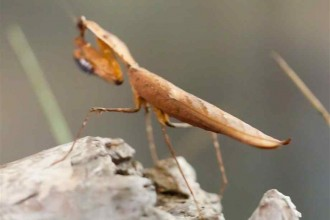 Dead Leaf Mantis , 6 Pictures Of Leaf Mantis In Orthoptera Category