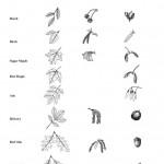 deciduous tree guide , 4 Oak Tree Leaf Identification Key In Plants Category
