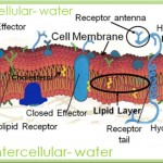 diagram of cellular membrane , 6 Pictures Of Cellular Membrane In Cell Category