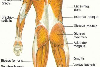 diagram of muscular system in