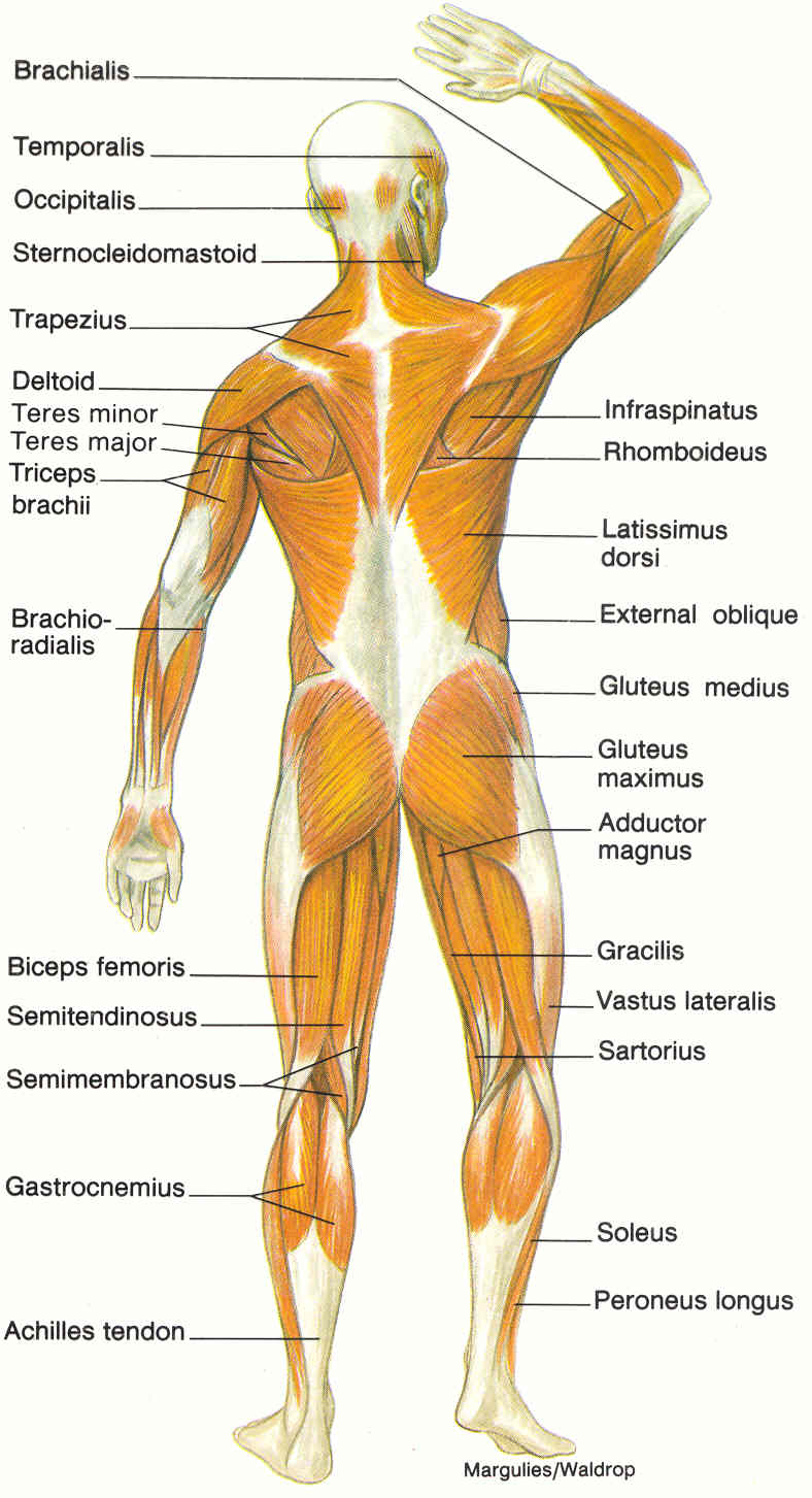 Diagram Of Muscular System 6 Muscular System Pictures Labeled