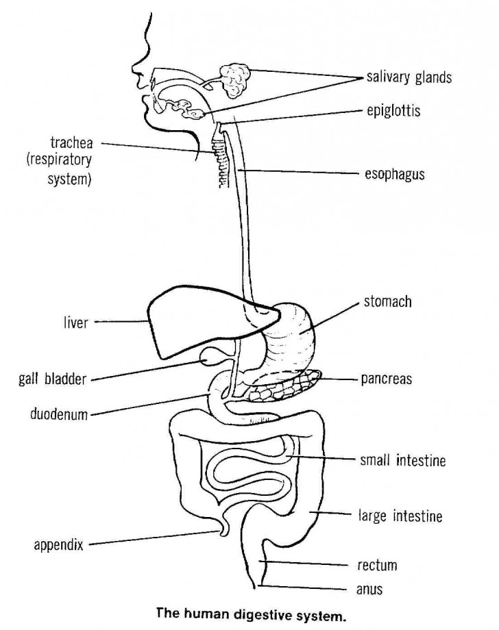 Organ , 7 Label The Parts Of The Digestive System : Digestive System