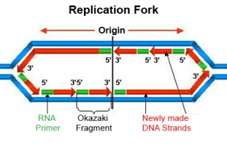 dna replication animation wiley in Birds