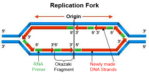 Cell , 5 Animation On Dna Replication : Dna Replication Animation Wiley