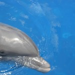 dolphin facts for kids , 6 Bottlenose Dolphin Facts For Kids In Mammalia Category