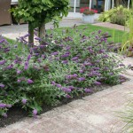 dwarf butterfly bush blue chip picture 1 , 8 Dwarf Butterfly Bush Blue Chip Pictures In Plants Category