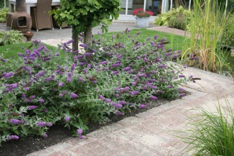 dwarf butterfly bush blue chip picture 1 in Spider