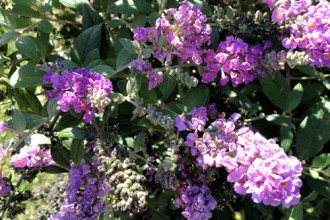 dwarf butterfly bush blue chip picture 2 in Dog
