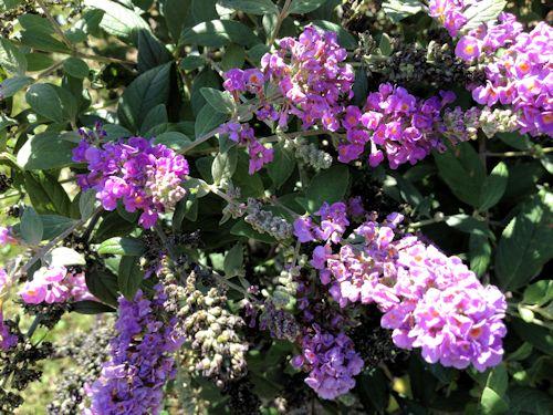 Plants , 8 Dwarf Butterfly Bush Blue Chip Pictures : Dwarf Butterfly Bush Blue Chip Picture 2