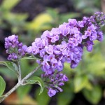 dwarf butterfly bush blue chip picture 3 , 8 Dwarf Butterfly Bush Blue Chip Pictures In Plants Category