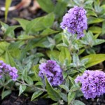 dwarf butterfly bush blue chip picture 4 , 8 Dwarf Butterfly Bush Blue Chip Pictures In Plants Category