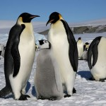 emperor penguins habitat , 6 Emperor Penguins Facts In Birds Category