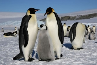 emperor penguins habitat in Laboratory