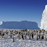 emperor penguins population , 6 Emperor Penguins Facts In Birds Category
