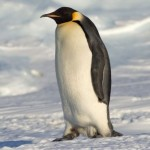 emporer penguin , 6 Emperor Penguins Facts In Birds Category