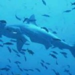 endagered hammerhead shar , 6 Hammerhead Sharks Facts In pisces Category