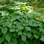 epimedium herb , 6 Epimedium Herb In Plants Category