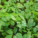 epimedium herbal , 6 Epimedium Herb In Plants Category