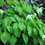 epimedium koreanum leaf , 6 Epimedium Leaf Photos In Plants Category