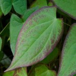 epimedium leaf picture , 6 Epimedium Leaf Photos In Plants Category