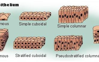 epithelium tissue in Laboratory