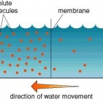 equilibrium of water pressure , 6 Pictures Of Osmosis Of Water In Cell Category