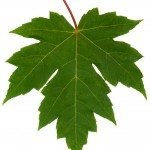 freeman maple leaf , 7 Maple Leaf Photos In Plants Category