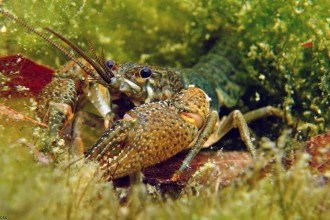 Freshwater Crayfish Images , 6 Crayfish Images In Decapoda Category