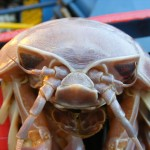 giant isopod front , 7 Pictures Of Isopod In Isopoda Category