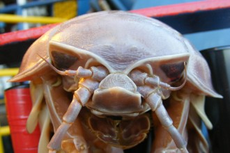giant isopod front in Cat