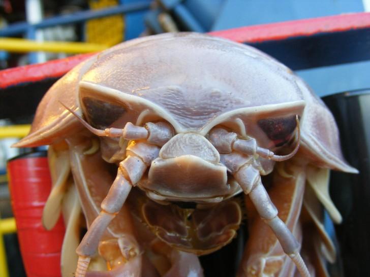 Isopoda , 7 Pictures Of Isopod : Giant Isopod Front
