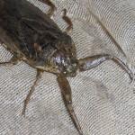 giant water bug , 6 Water Bug Beetle In Bug Category