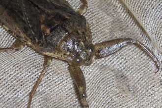 giant water bug in Birds