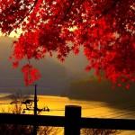 golden autumn landscape , 4 Maple Leaf Landscaping In Plants Category