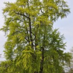great british trees , 6 British Tree Photos In Plants Category