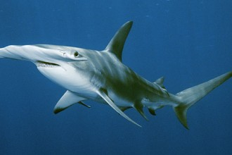 great hammerhead shark in pisces