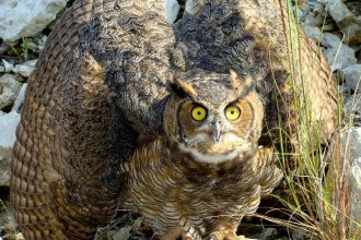 great horned owl in Spider