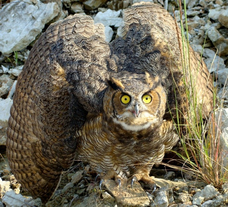 Birds , 6 Owl Interesting Facts : Great Horned Owl