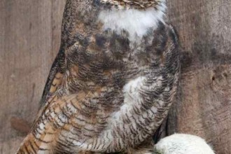 Great Horned Owl Facts And Pictures , 6 Great Horned Owl Facts In Birds Category