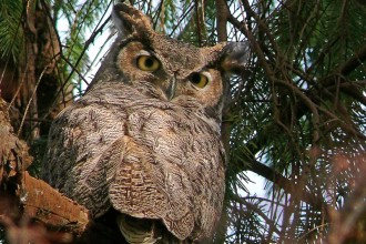 Great Horned Owl Habitat , 6 Great Horned Owl Facts In Birds Category